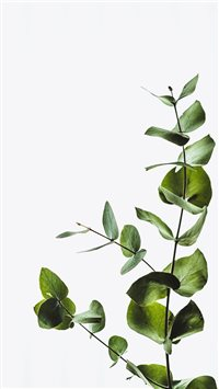 Minimal eucalyptus leaves iPhone 6(s)~8(s) wallpaper