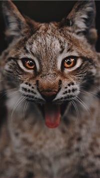 Lynx portrait iPhone 6(s)~8(s) wallpaper