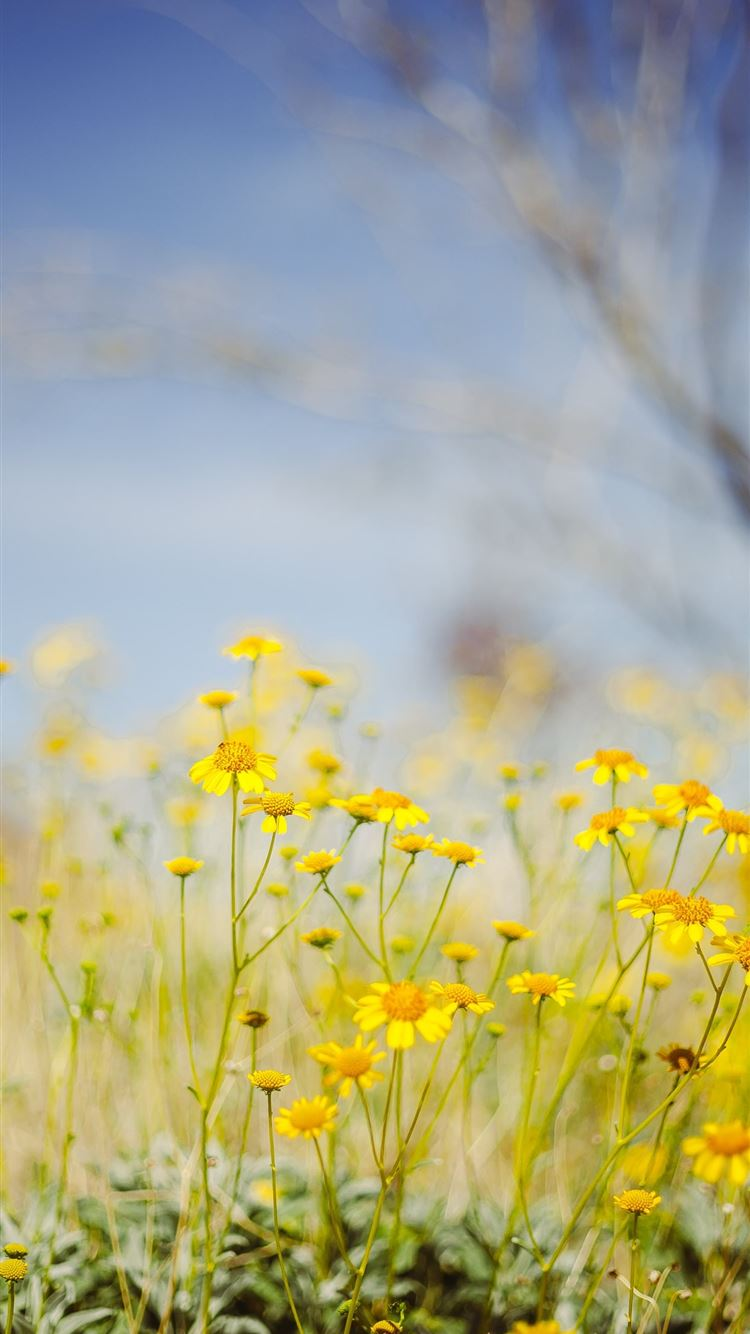 yellow flower field under blue sky during daytime iPhone 8 wallpaper