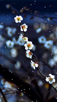 Plum blossom iPhone 5(s/c)~se wallpaper