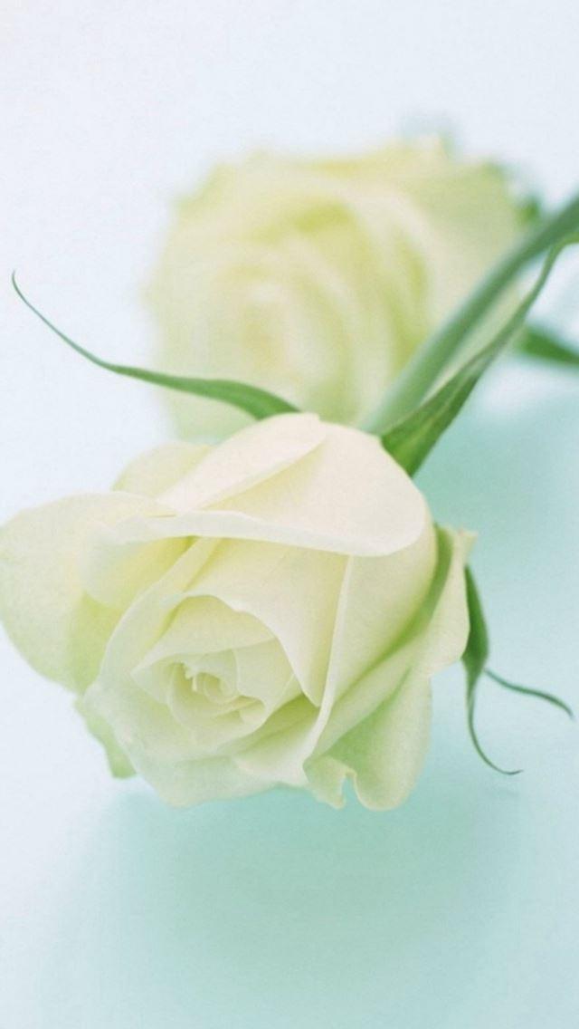 Pure elegant white rose flower iphone se wallpaper download iphone pure elegant white rose flower iphone se wallpaper mightylinksfo