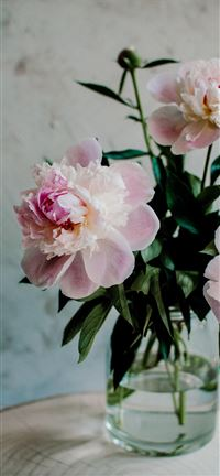 Blossom pink peonies iPhone 5(s/c)~se wallpaper
