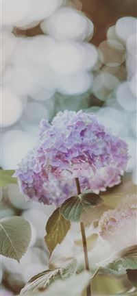 Hydrangea with beautiful bokeh iPhone 5(s/c)~se wallpaper