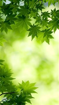 green maple leaves iPhone 5(s/c)~se wallpaper