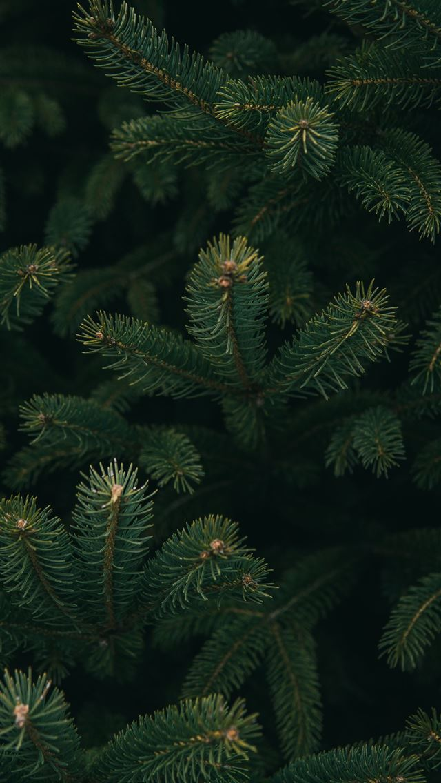 close up photo of green Christmas tree iPhone wallpaper