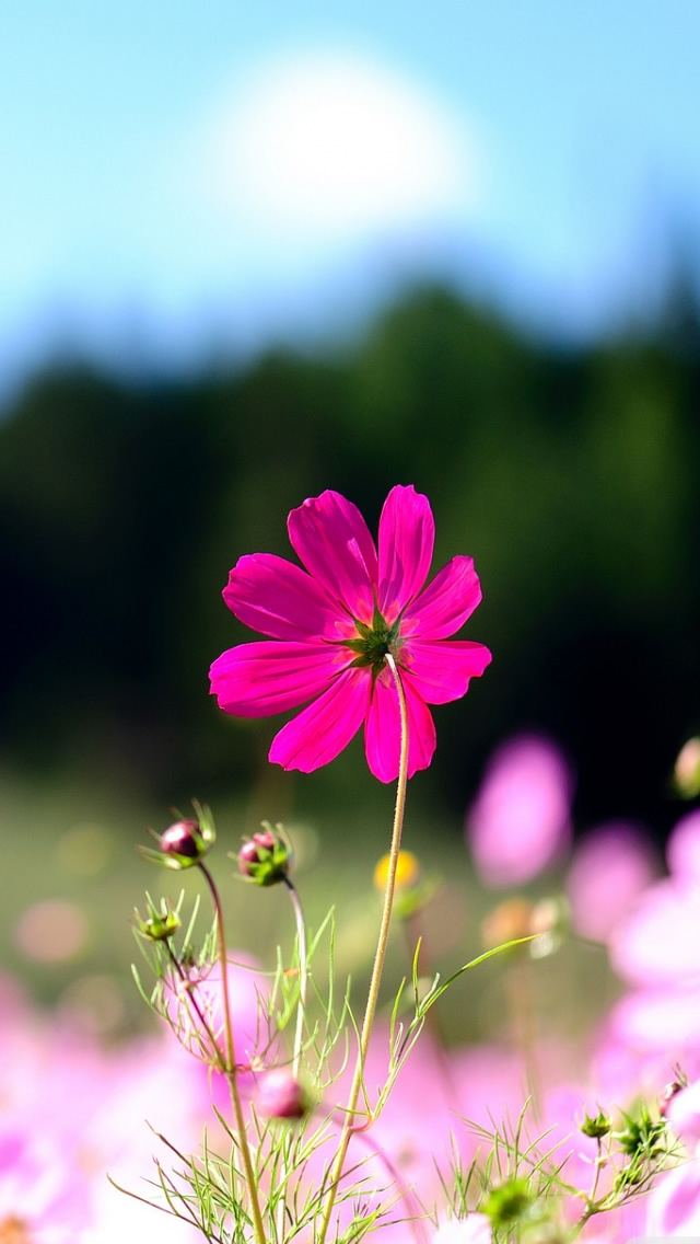 Pink Cosmos Flowers iPhone wallpaper