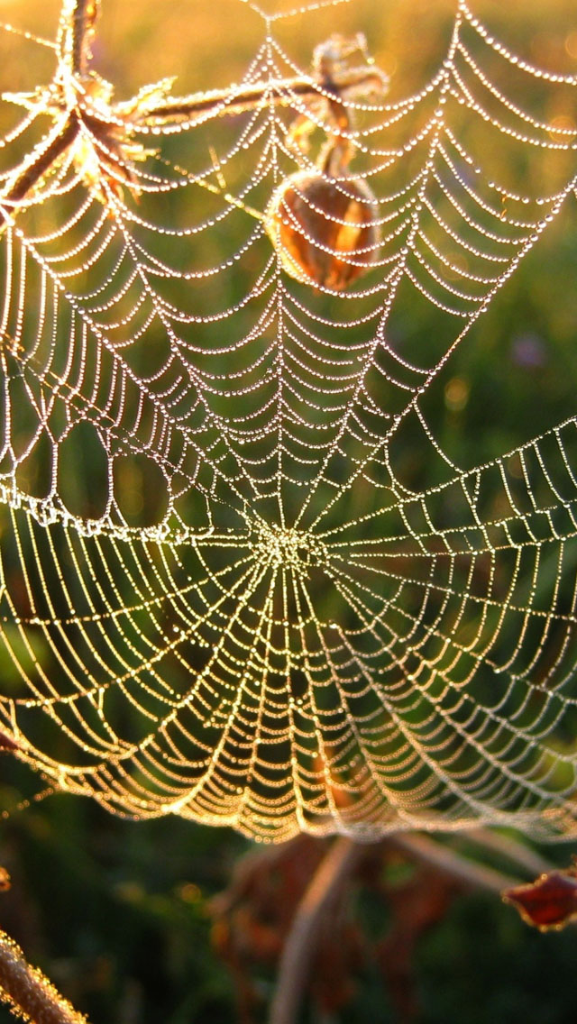 spider web iPhone Wallpapers Free Download