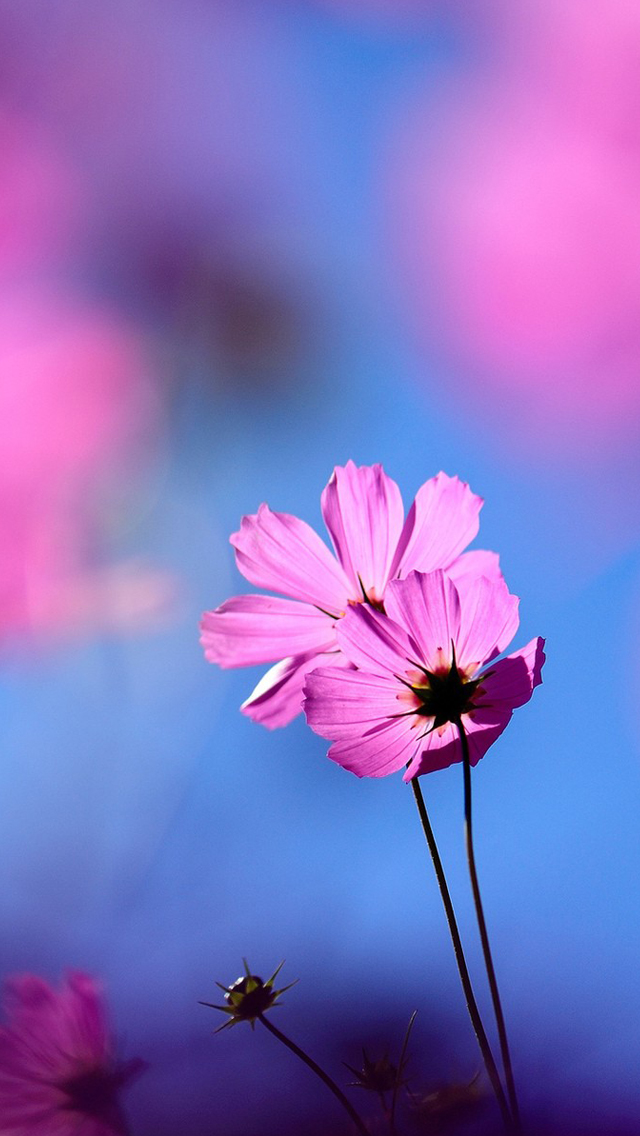 Cosmos flower iPhone wallpaper