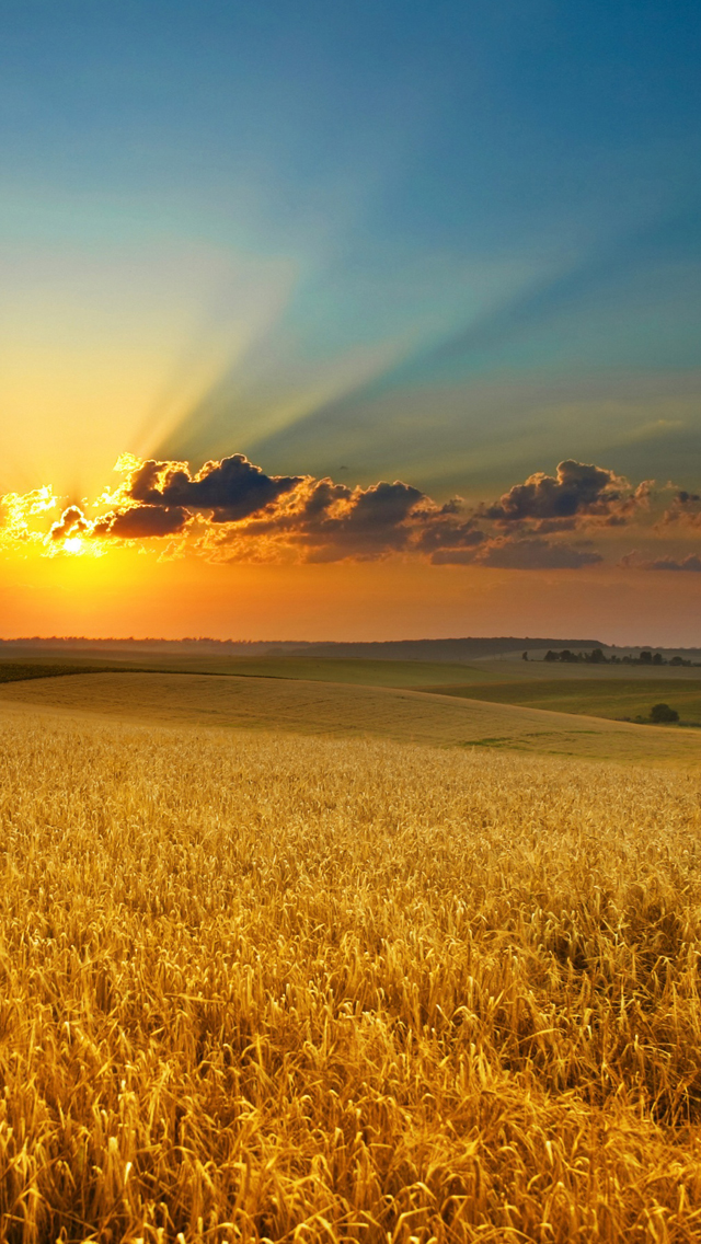 Golden summer field iPhone wallpaper