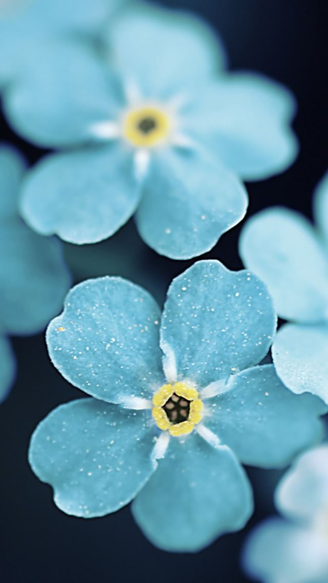 Forget Me Blue Flowers iPhone wallpaper
