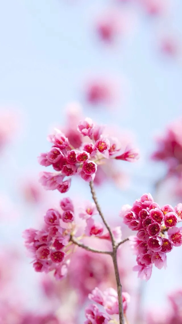 Pink flowers iPhone wallpaper