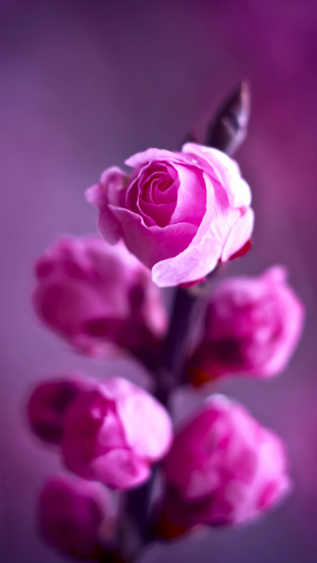 Pink roses branch iPhone wallpaper