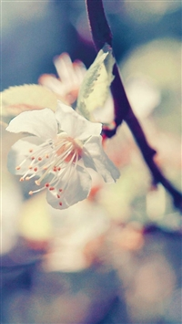 Pear Blossom iPhone 5s wallpaper