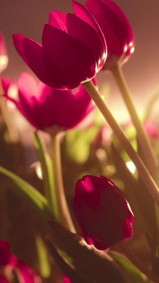 Beautiful Tulips iPhone wallpaper