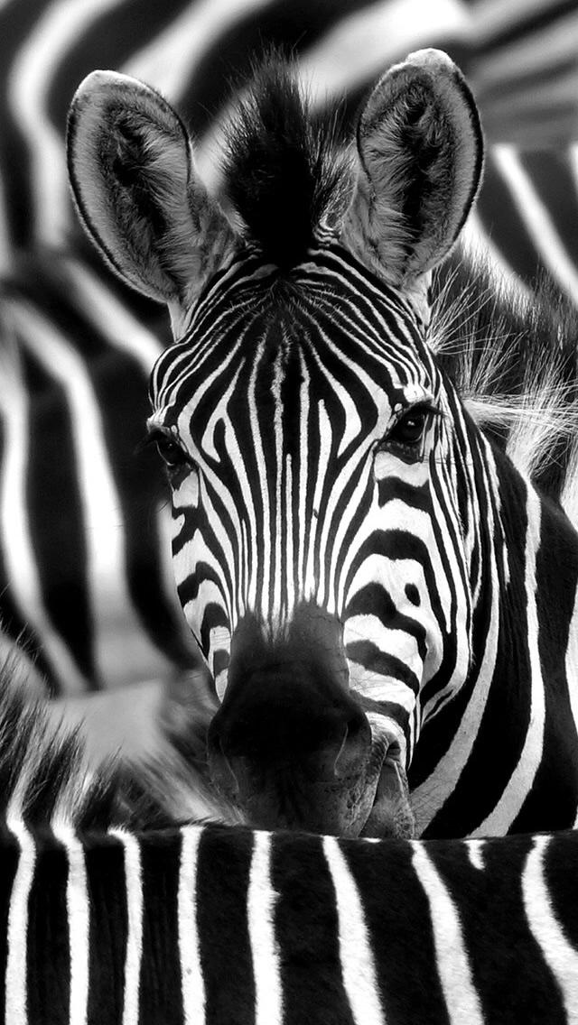Zebra Face Closeup Iphone Wallpapers Free Download