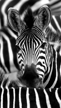 Zebra Face Closeup iPhone 5s wallpaper