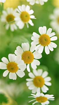 Nature Little Daisy Macro iPhone 5s wallpaper