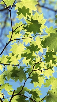 Sunshine Maple Leaves iPhone 5s wallpaper