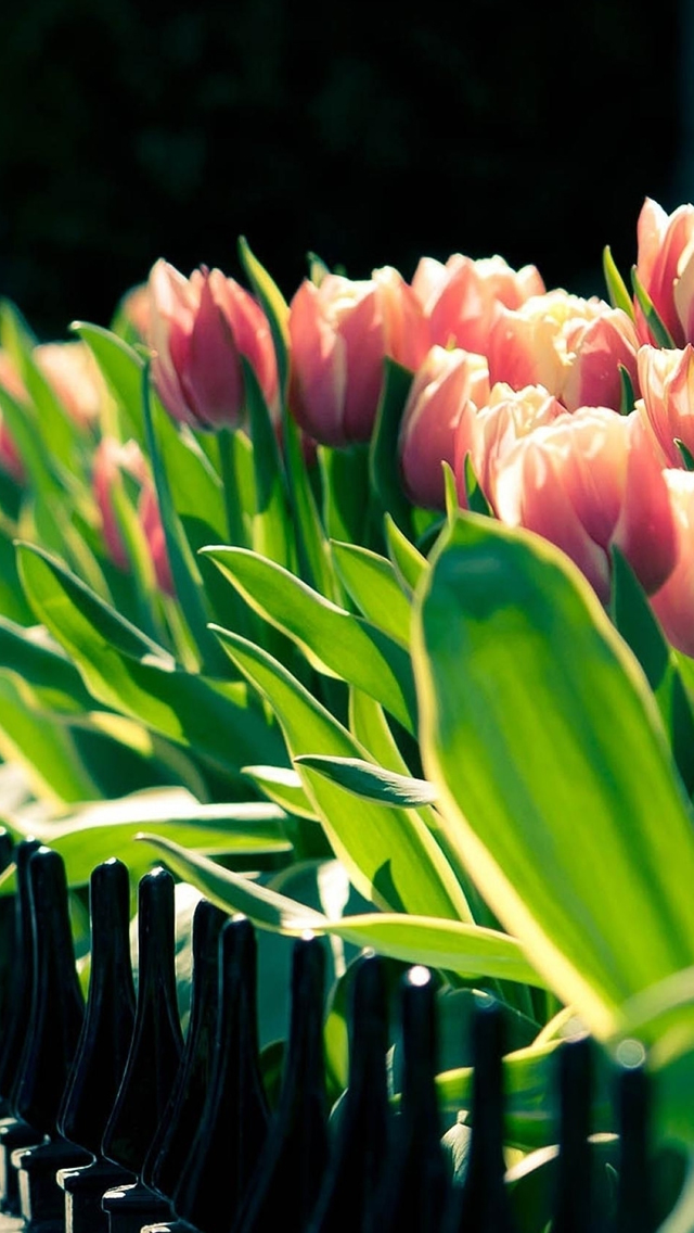 Tulip Flower Beside Fence iPhone wallpaper