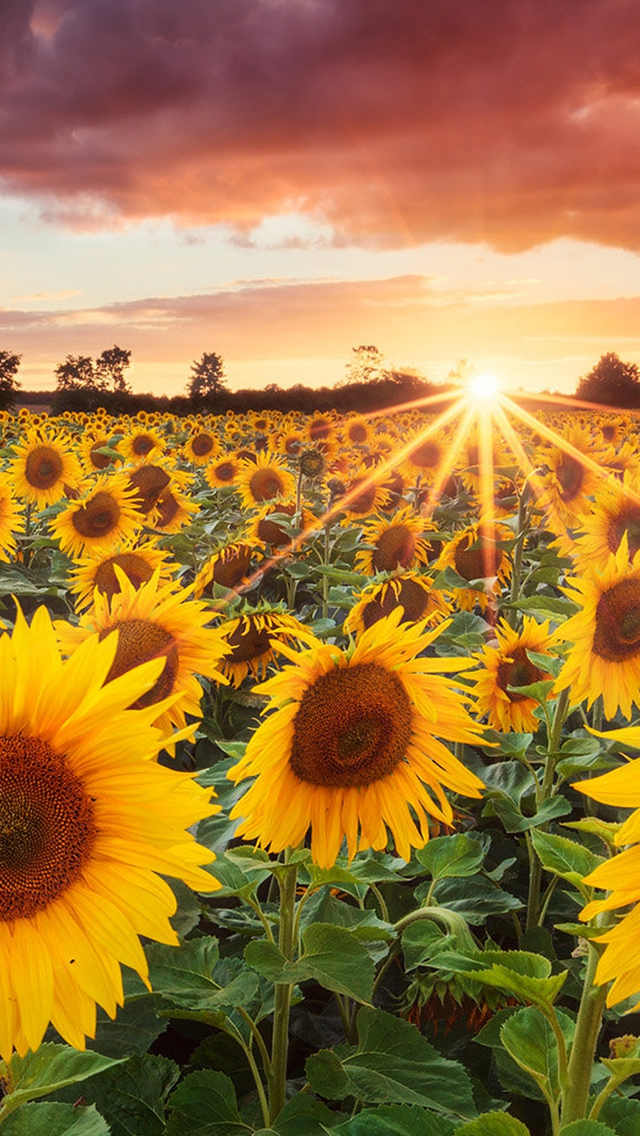 Grand Sunflower Field iPhone wallpaper