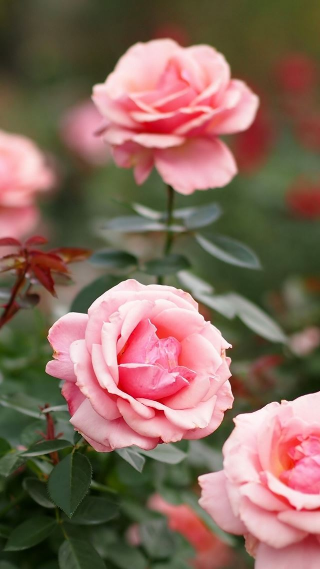 Roses Flowers Petals Pink Iphone Wallpapers Free Download