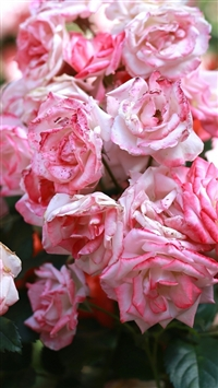 Rose Pink Buds Blooms iPhone 5s wallpaper