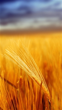 Grain Field Depth Of Field iPhone wallpaper