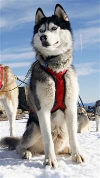 Snow Field Husky Dog Alaska iPhone 5s wallpaper