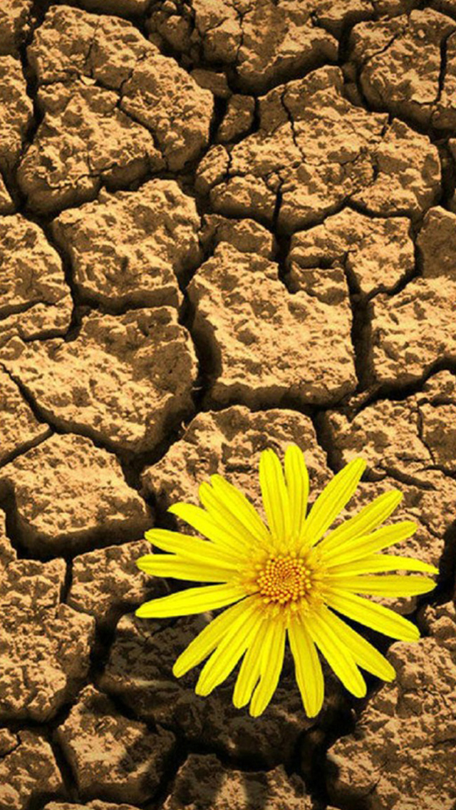 Lonely Daisy On Cracking Drought Land iPhone wallpaper
