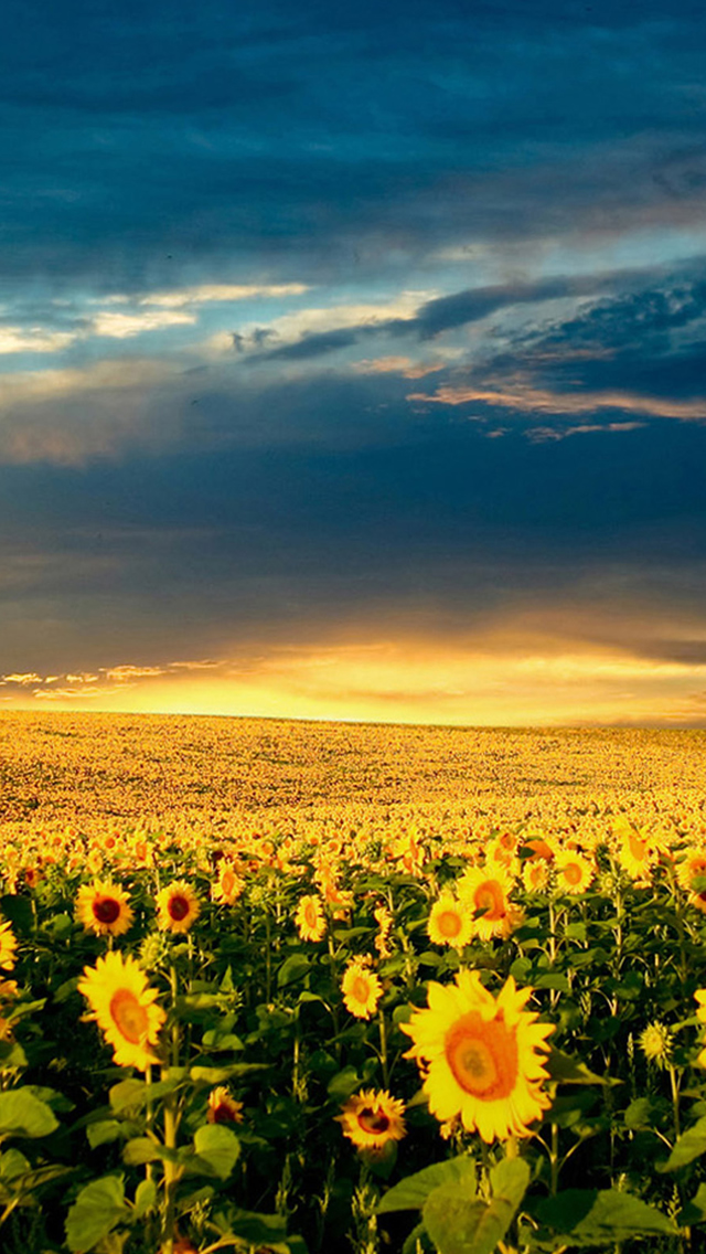Nature Vast Sunflower Field Landscape iPhone wallpaper