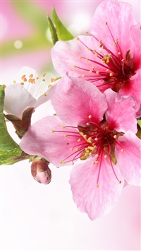 Spring Plum Blossom Branch Macro iPhone 5s wallpaper