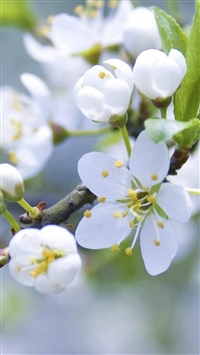Nature Pure White Flower Bloom Branch iPhone 5s wallpaper