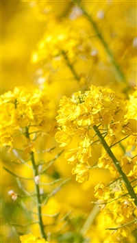 Yellow Cole Flower Spring Nature iPhone 5s wallpaper