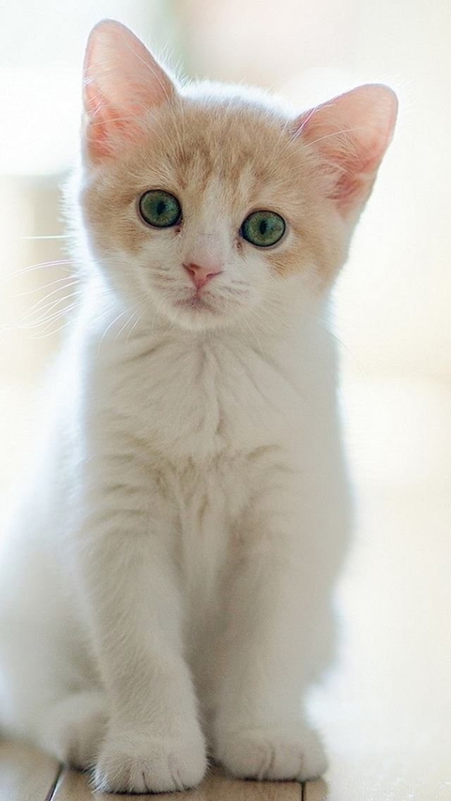 Cute Lovely Staring Kitten Cat iPhone wallpaper