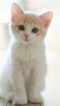 Cute Lovely Staring Kitten Cat iPhone 5s wallpaper