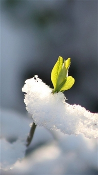 Nature Fresh Bud Through Icy Snow Field iPhone wallpaper
