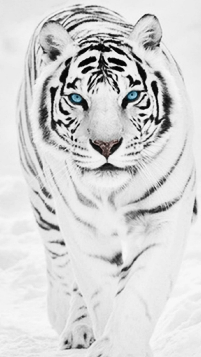 White Wild Tiger Animal Retina iPhone wallpaper