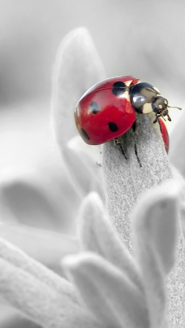 Ladybug Insect Flower Petals iPhone wallpaper