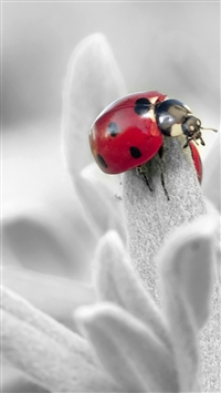 Ladybug Insect Flower Petals iPhone 5s wallpaper