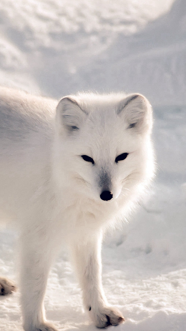 White Artic Fox Snow Winter Animal iPhone wallpaper