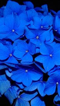 Hydrangea Blossom Flower Blue Dark Nature iPhone 5s wallpaper