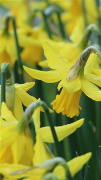 Narcissus Flowers Buds Stems iPhone 5s wallpaper