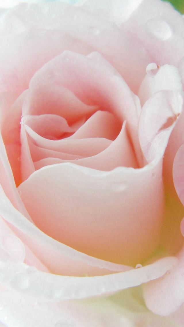 Bright Rose Beautiful Dew Macro iPhone wallpaper