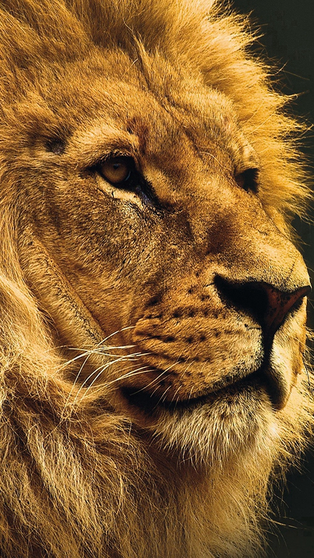 National Geographic Nature Animal Lion Yellow Iphone