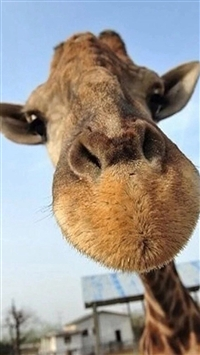 Cute Funny Giraffe Macro Face Animal iPhone 5s wallpaper