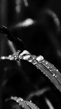 Grass Drop Water Rain Nature Forest Dark Bw iPhone 5s wallpaper