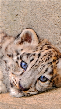 Snow Leopard Cub Lie Look Sadness iPhone wallpaper