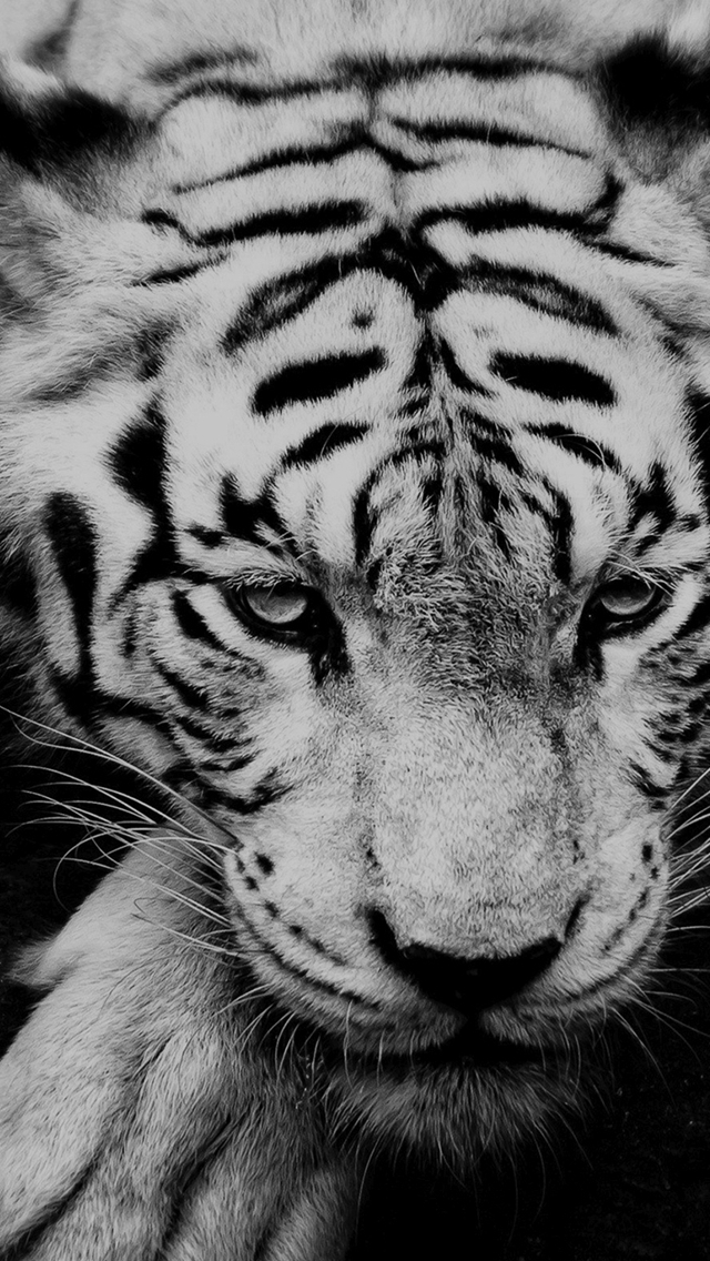 Black And White Tiger Portrait  iPhone wallpaper