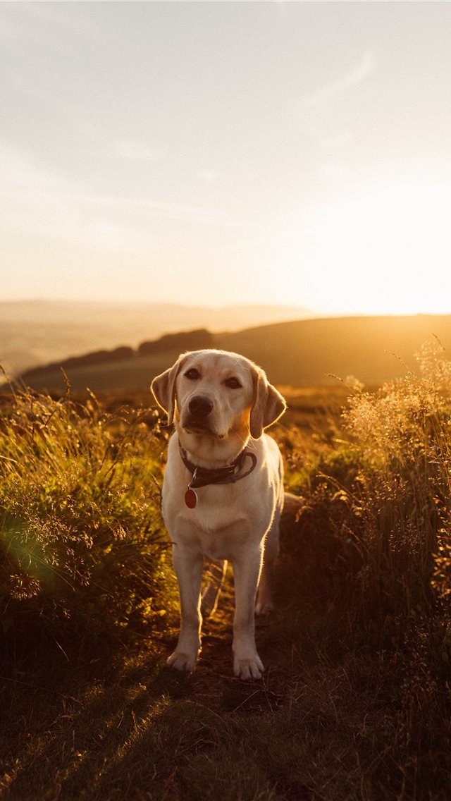 Labrador Sunset iPhone wallpaper