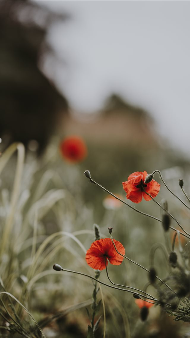 Red poppies  wildflowers iPhone wallpaper